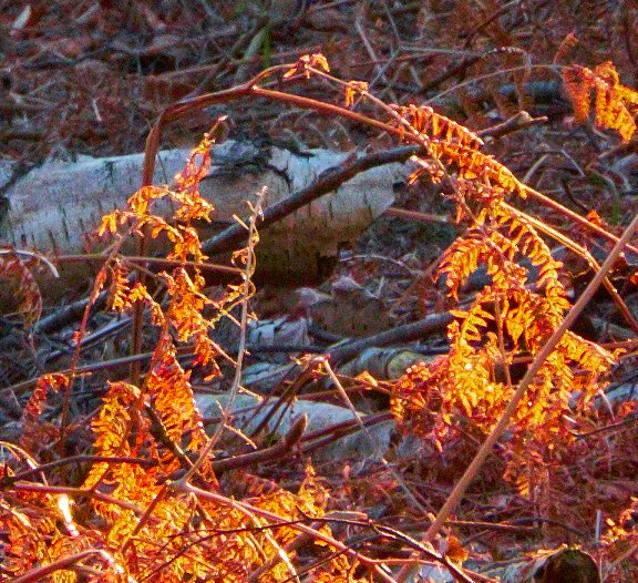 woodland orange streaks crop