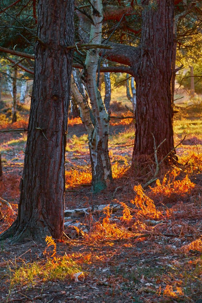 woodland orange streaks