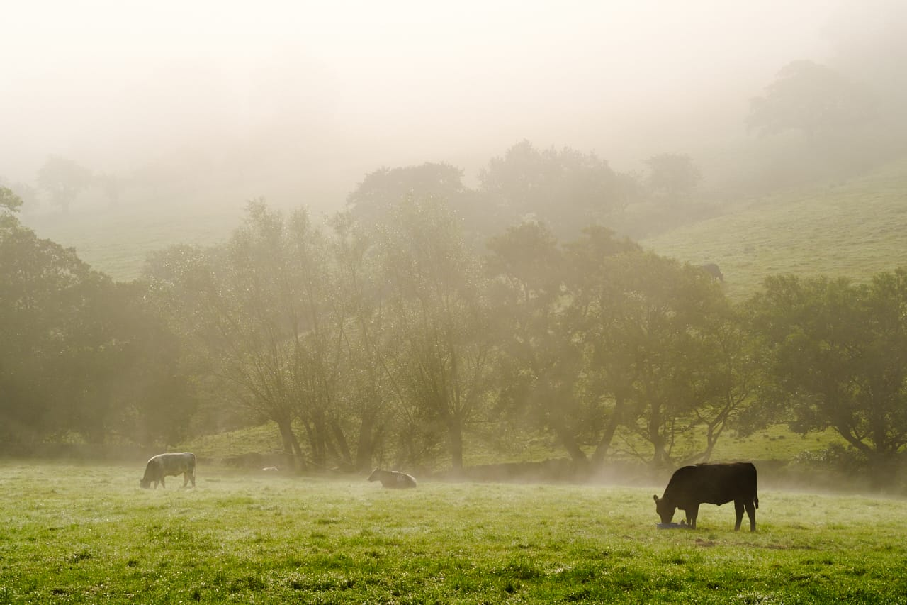 cow and fog