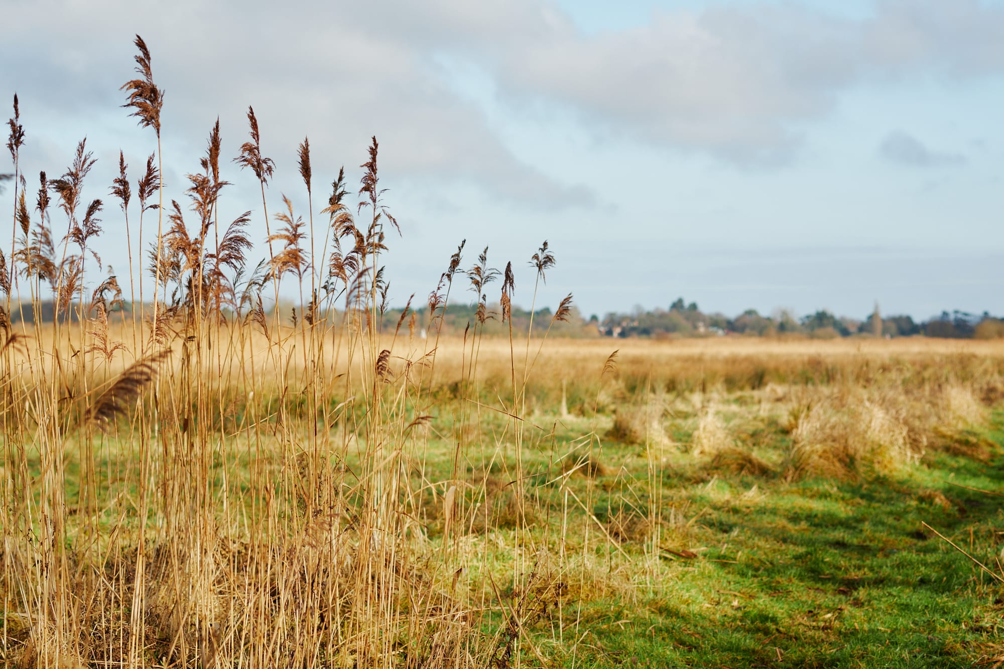 marsh grass next to footpath