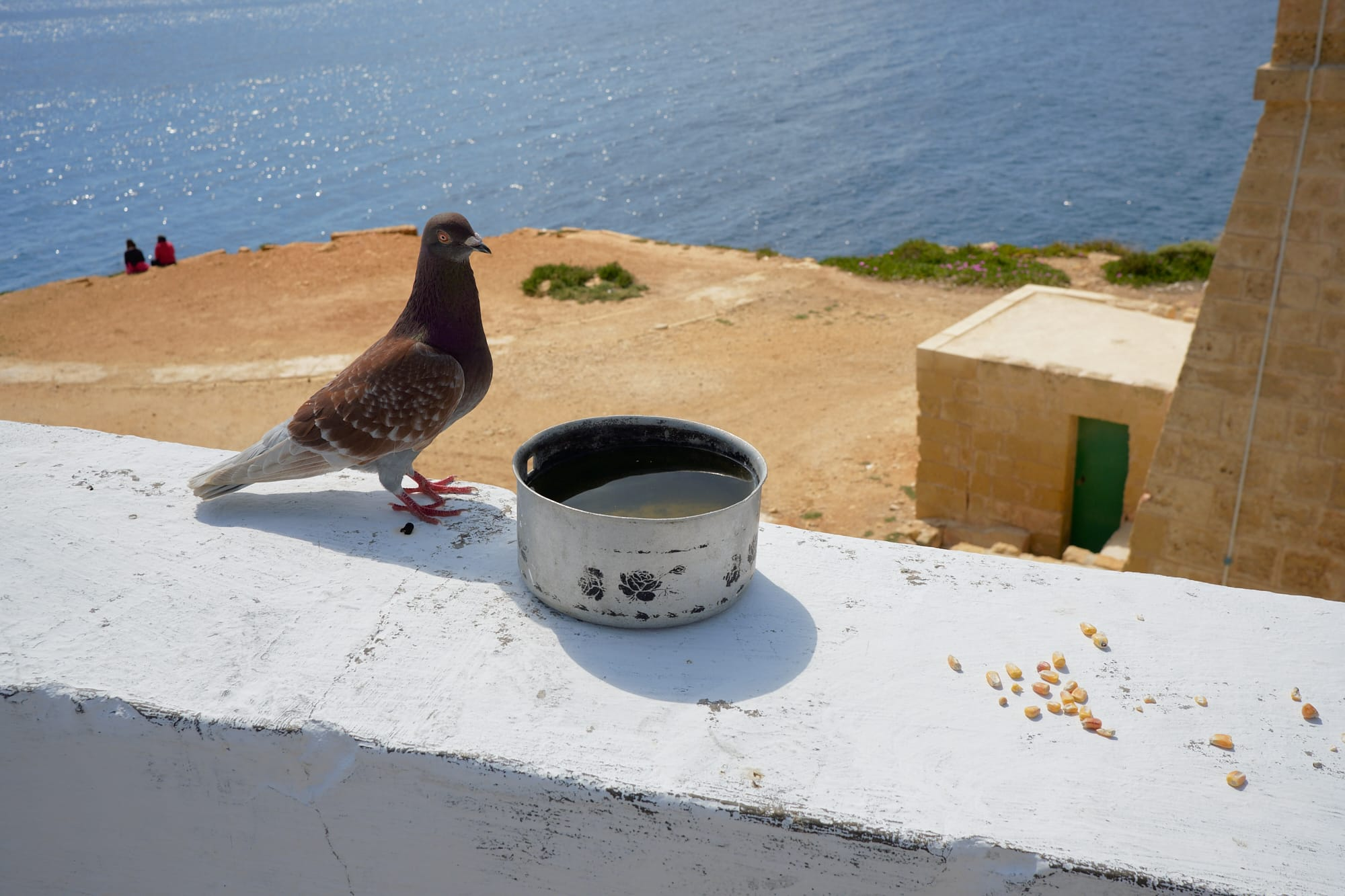 pigeon on the wall with a tin of water and some corn