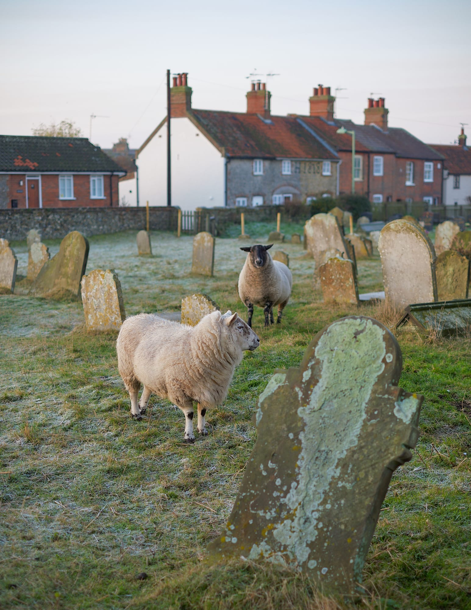 sheep in Pakefield Church graveyard