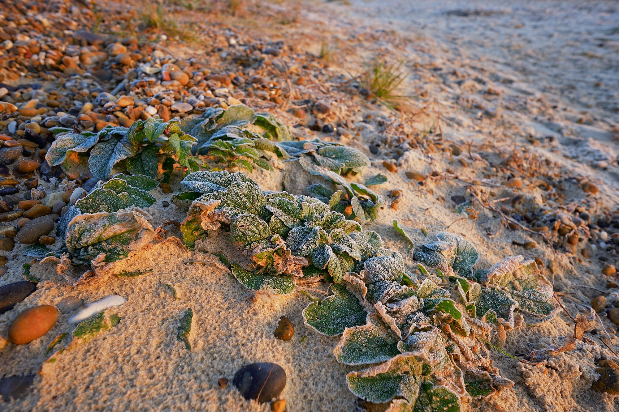 rime-covered beach plants facing the dawn