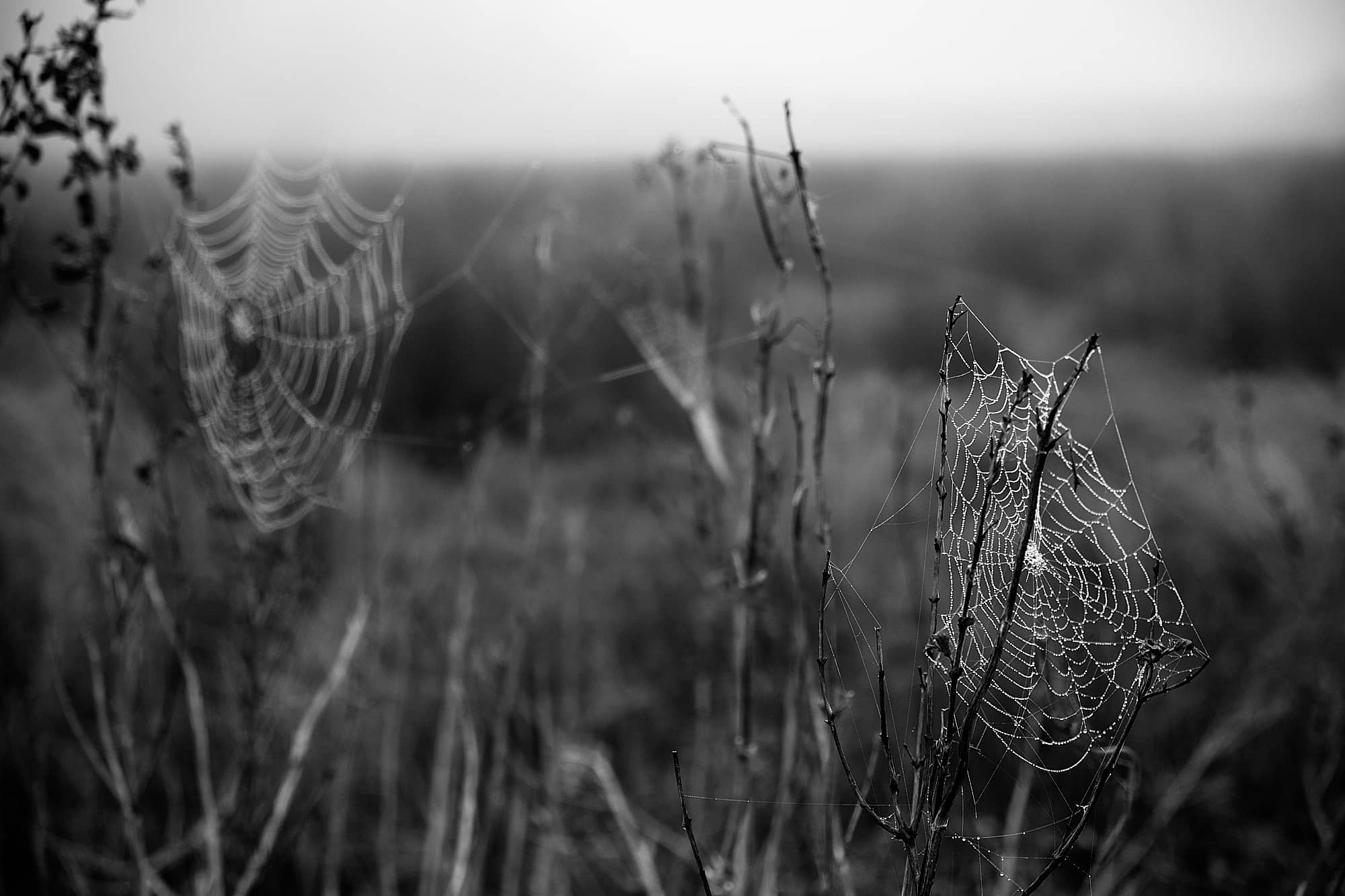 dewy-covered spider webs